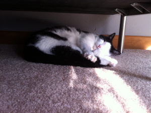 Oreo, a cute black and white kitty cat enjoys a nap