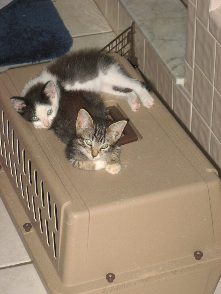 Oreo kitten and Olivia kitten relaxing on top of carrier